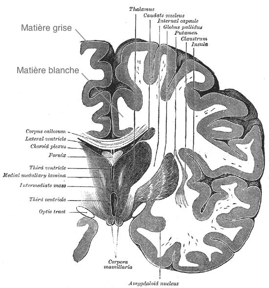 Différence entre la matière grise et la matière blanche dans le cerveau