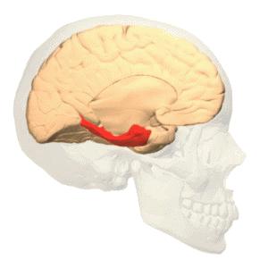 Représentation du gyrus parahippocampique dans le cerveau