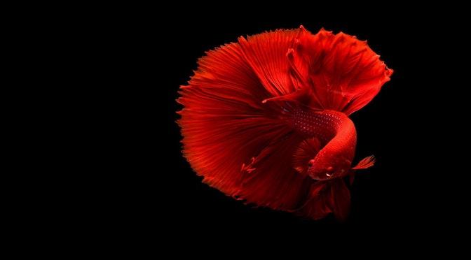 La déplorable mémoire des poissons rouges (épisode 71)